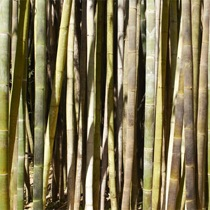 Bamboo%20Shadows.jpg